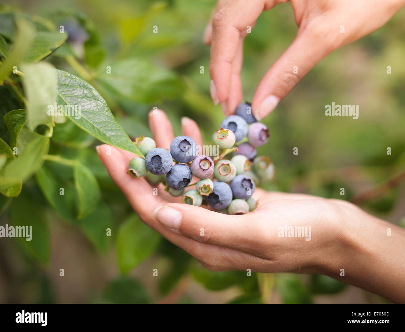 Picking blueberries on fruit farm, close up - Stock Image
