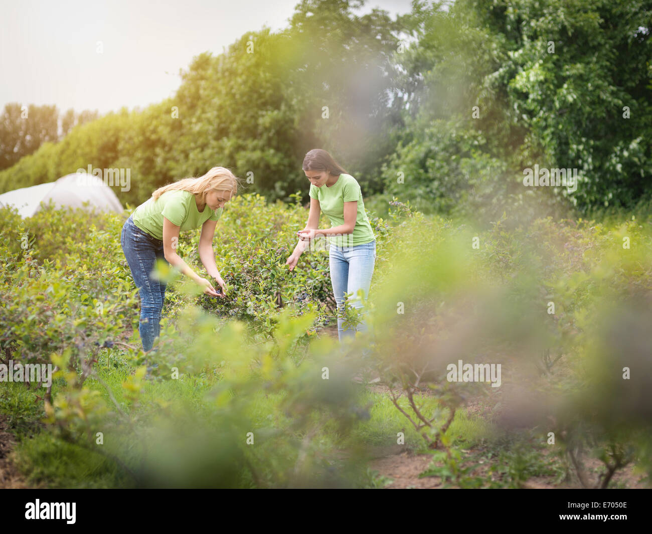 Workers picking blueberries on fruit farm Stock Photo