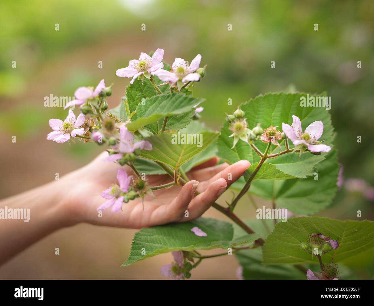 Hand holding blackberry flowers on fruit farm, close up - Stock Image