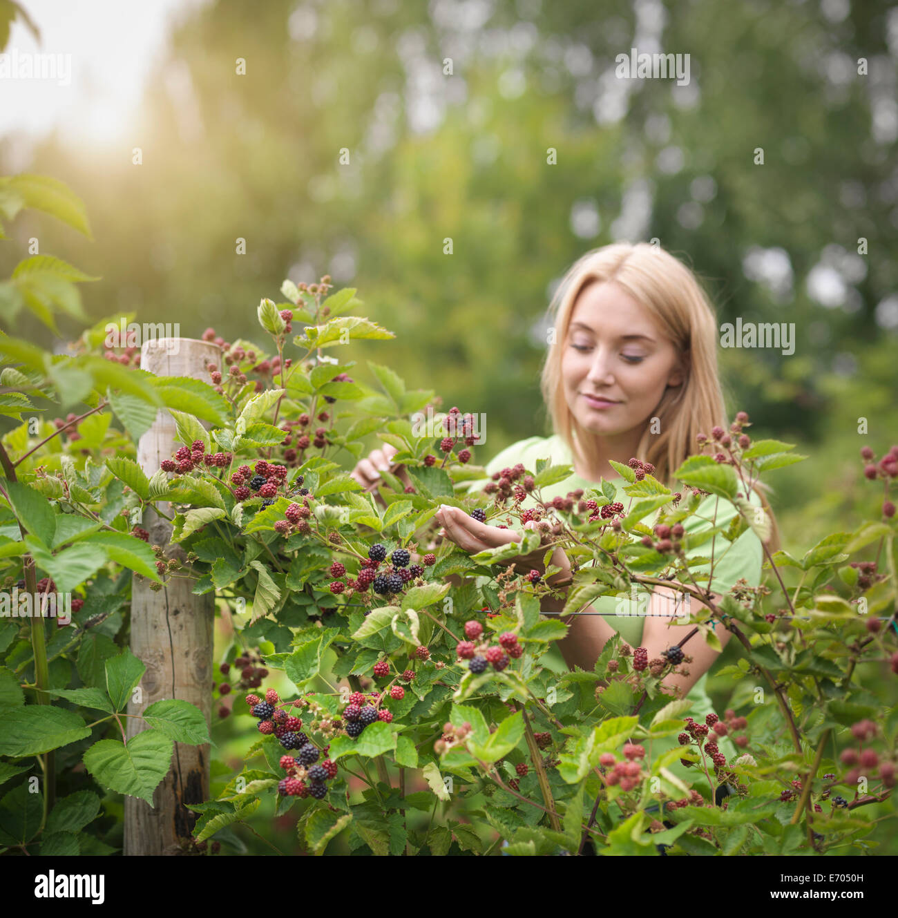 Working picking blackberries on fruit farm - Stock Image
