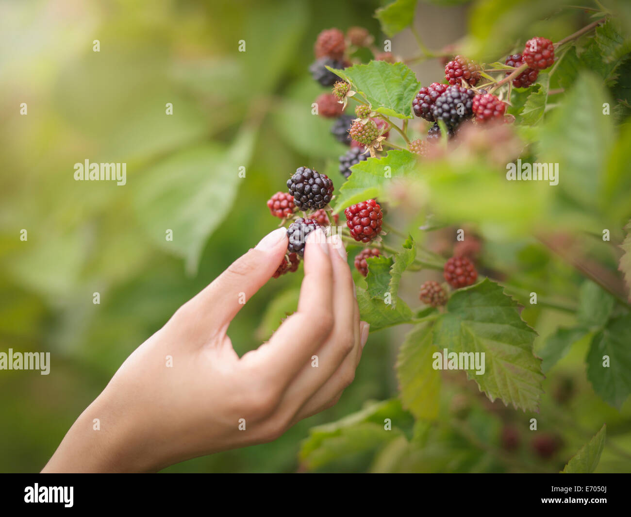 Working picking blackberries on fruit farm, close up - Stock Image
