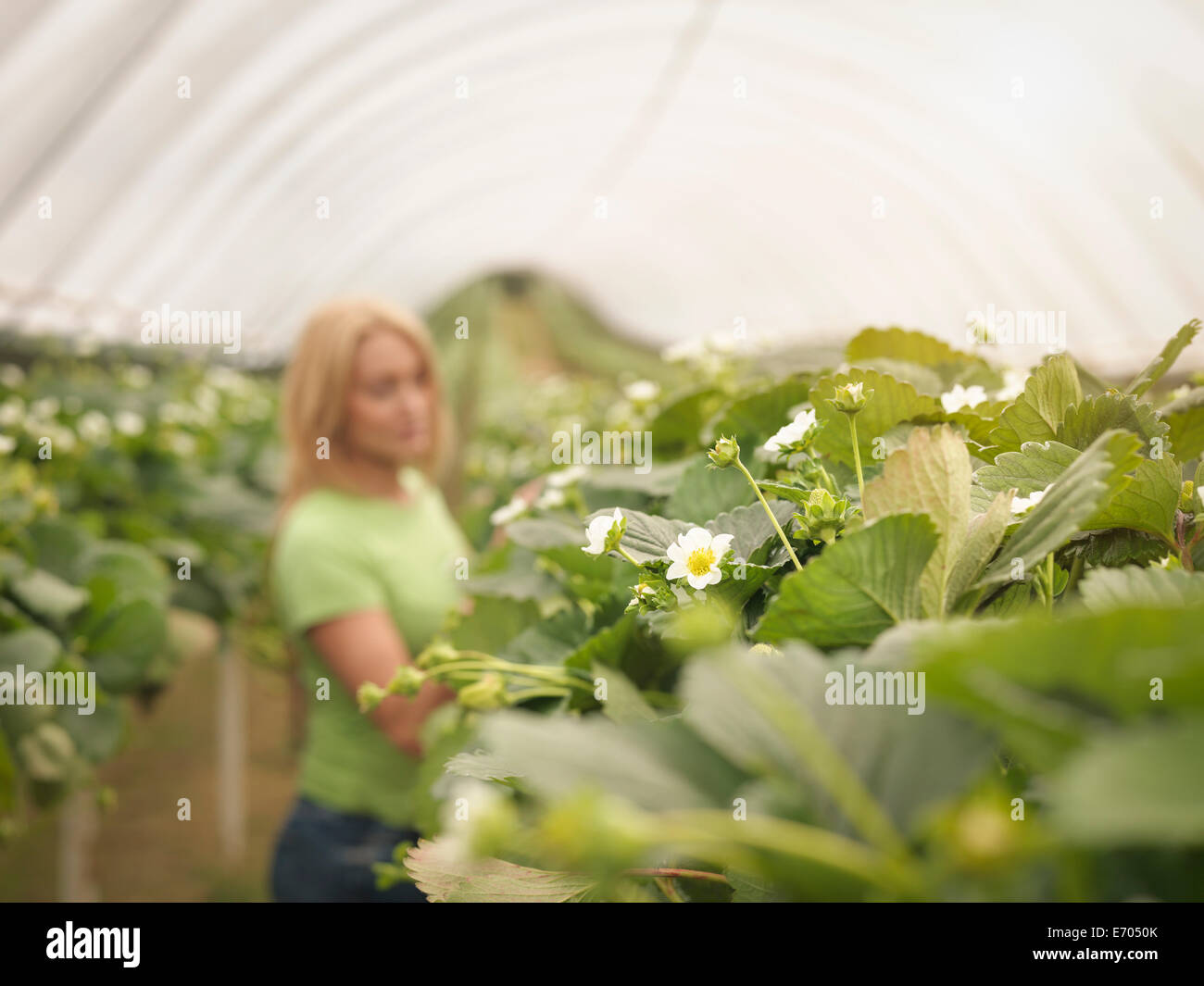 Worker checking strawberry plants in polytunnel on fruit farm - Stock Image