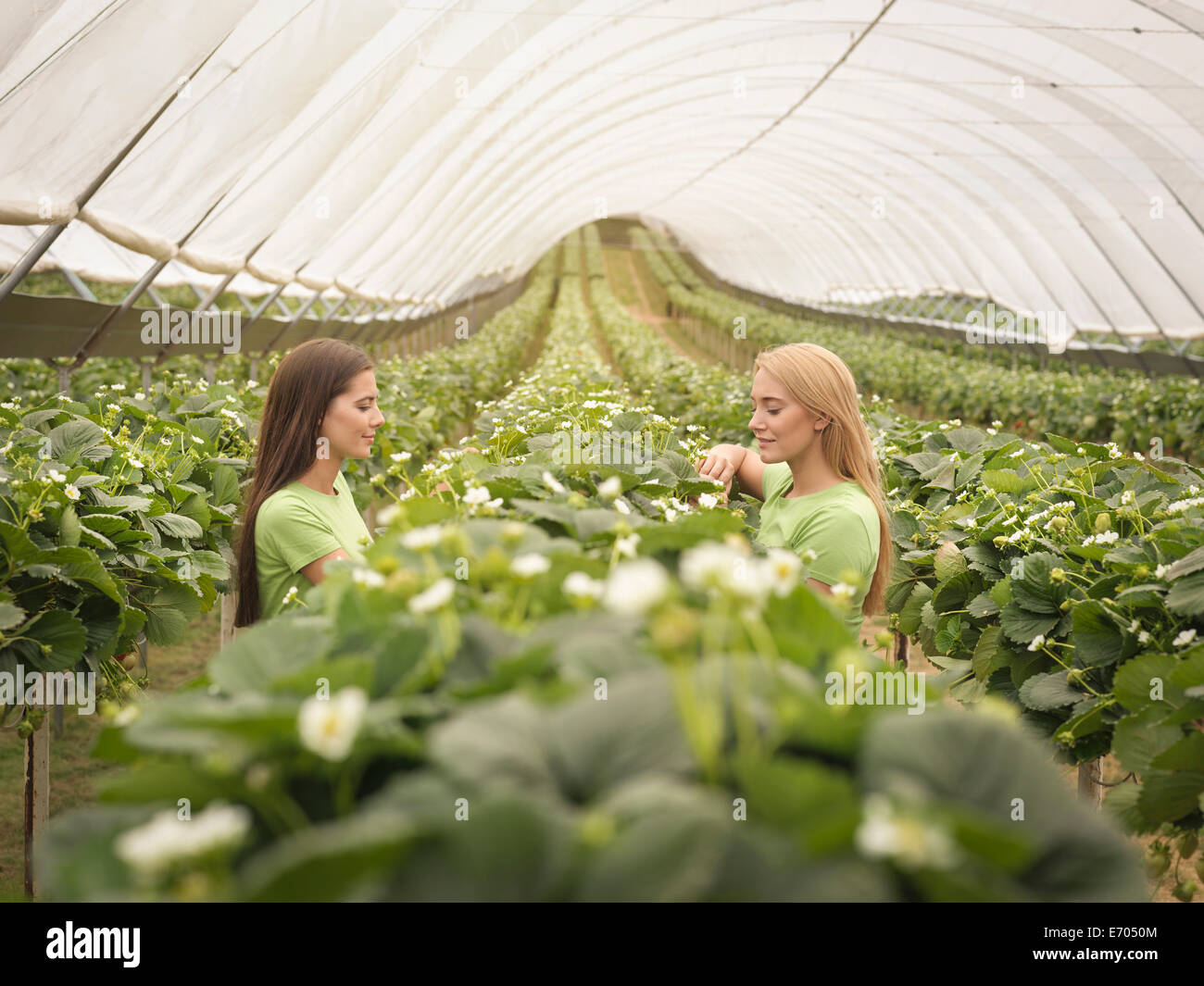 Workers checking strawberry plants in polytunnel on fruit farm - Stock Image