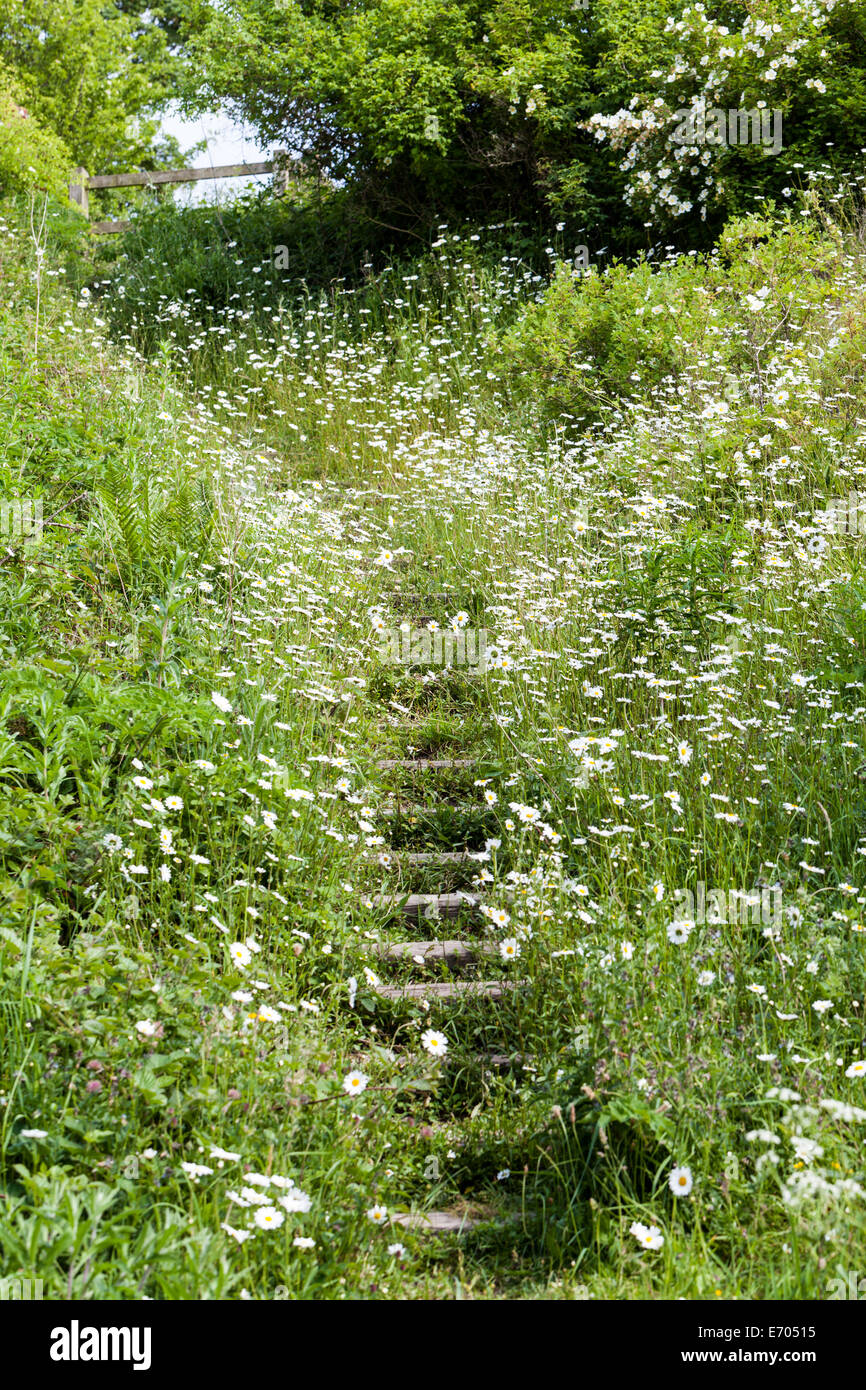 A path and steps with wild Ox Eye Daisy (Leucanthemum vulgare) wildflowers either side deep in the countryside Stock Photo
