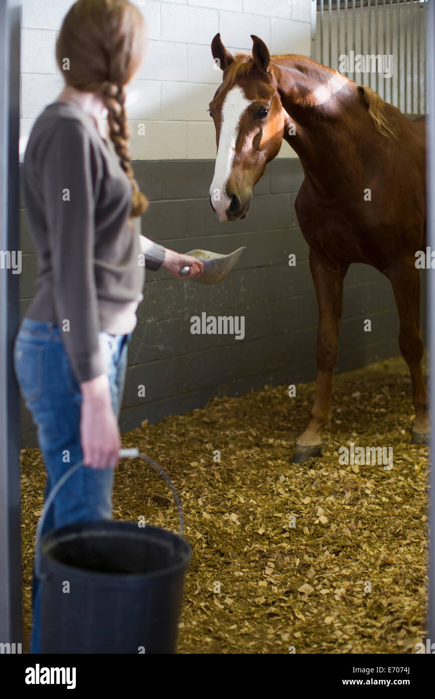 Female stablehand feeding horse in stables - Stock Image
