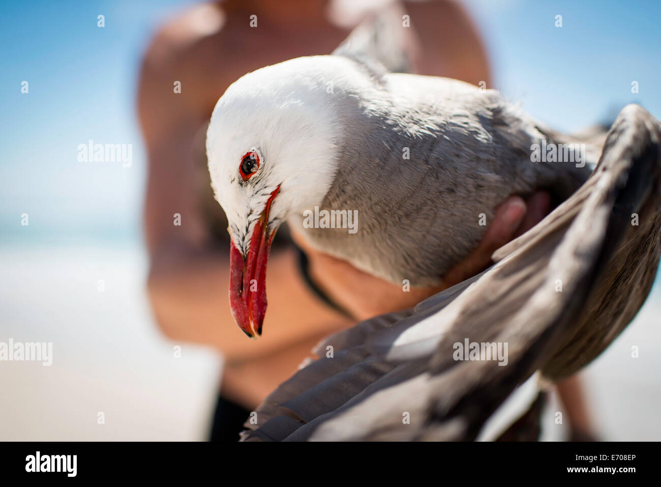 Mid adult male holding seagull, focus on seagull - Stock Image