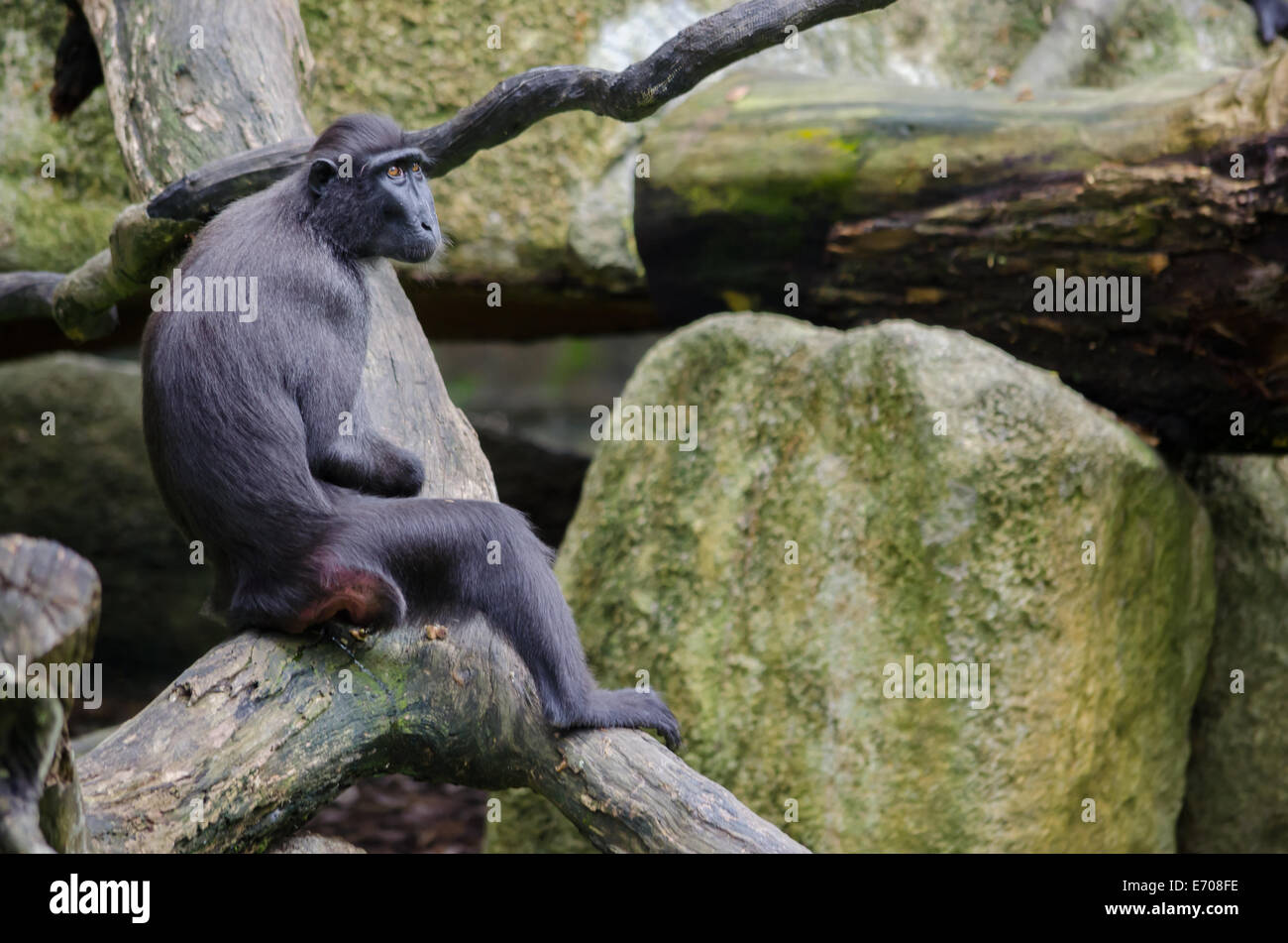 Sad looking macaca resting on a branch - Stock Image