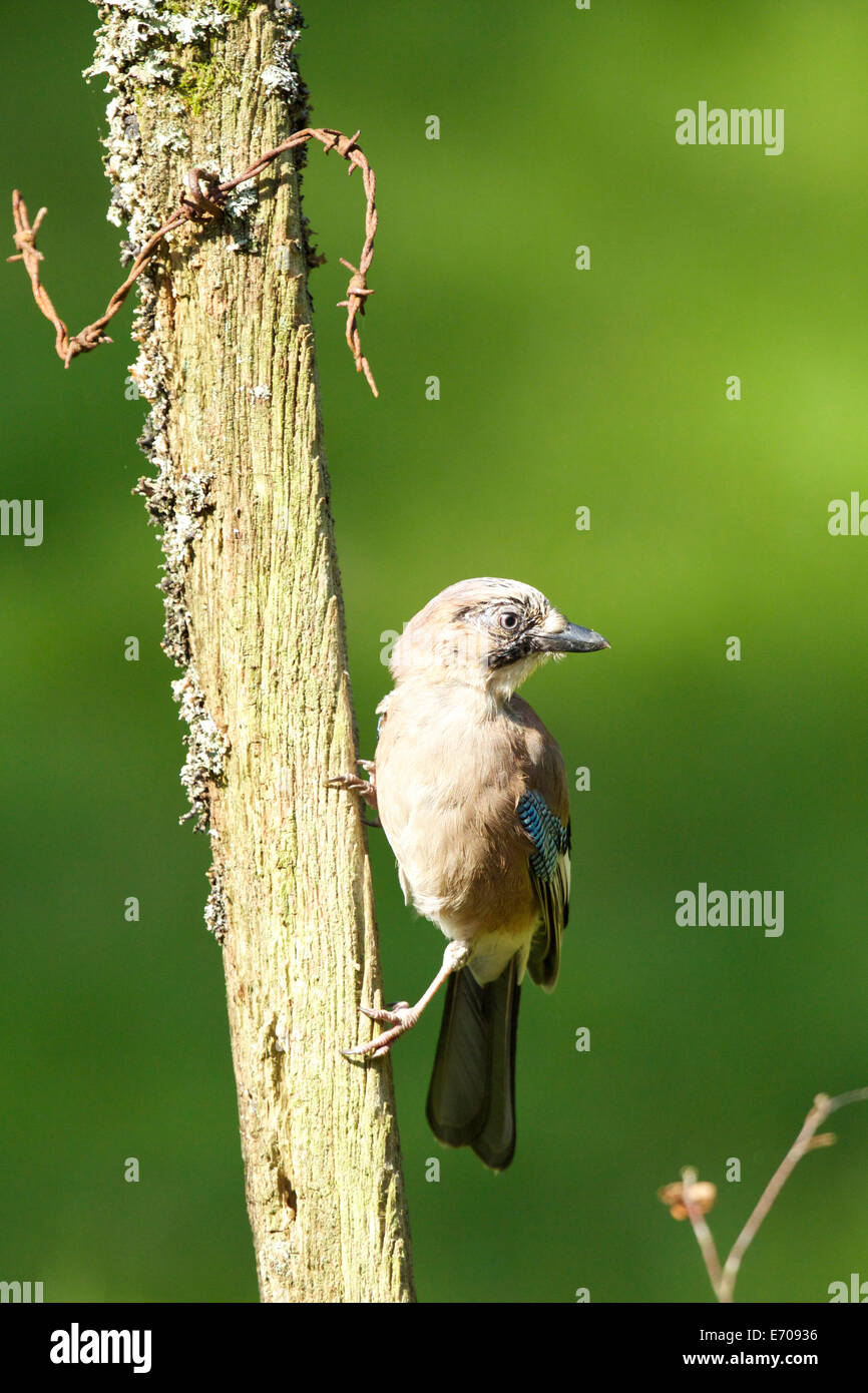 Jay poses for the camera while perched on the old fence post #3766 - Stock Image