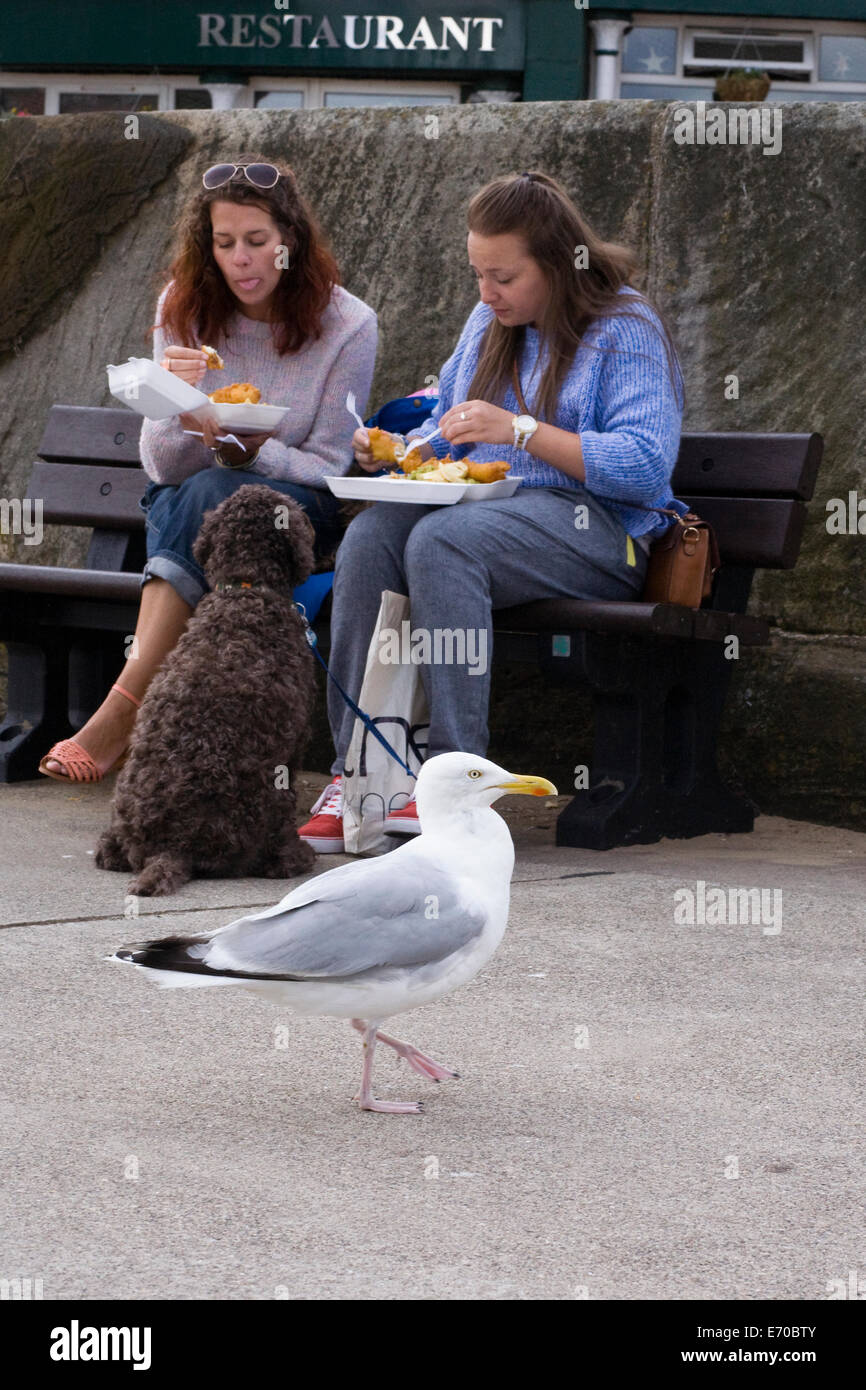 Larus argentatus. Herring Gull waiting for Fish and Chip scraps on the pier at Whitby. Stock Photo