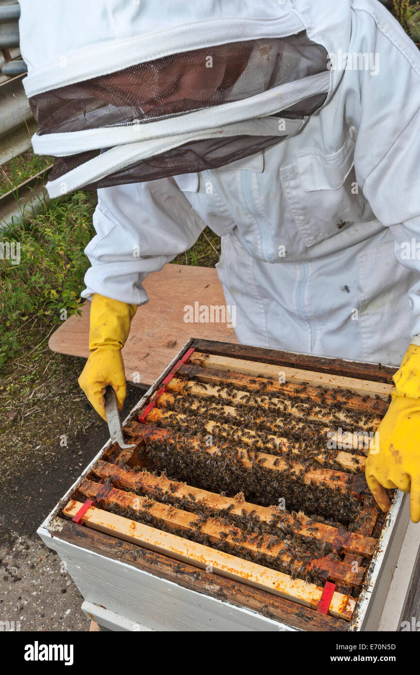A beekeeper checking the frames in the brood box of her beehive. The broodbox is the section where the queen lays - Stock Image