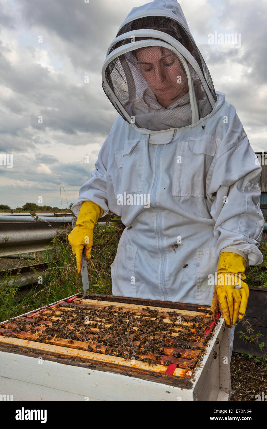 A female beekeeper removing frames from the brood box of her hive to inspect for hive health. - Stock Image