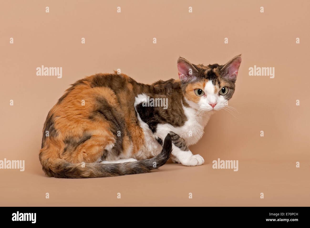 Devon Rex Cat Breed Tricolour Stock Photo Alamy