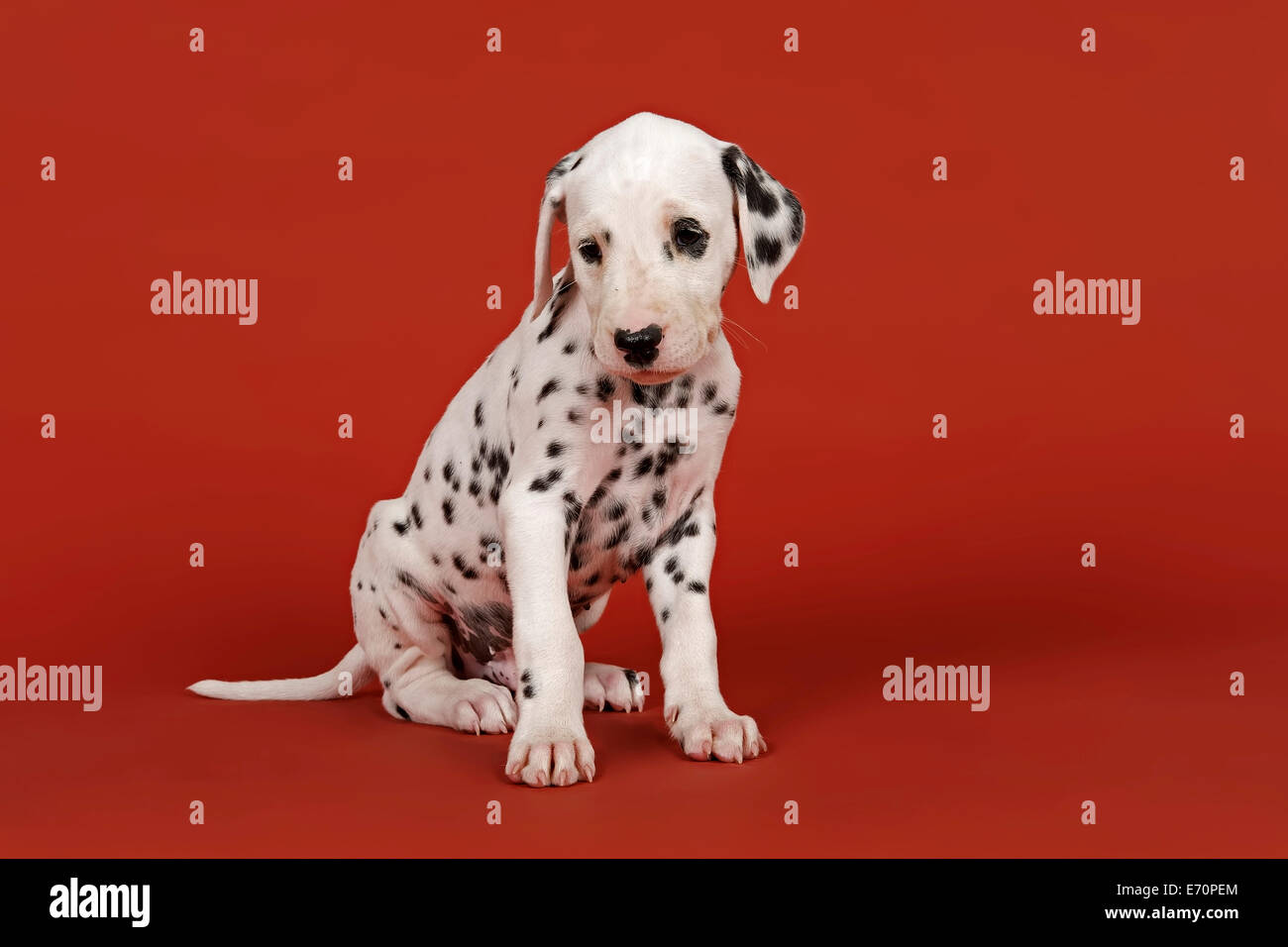 Dalmatian, puppy, 6 weeks - Stock Image
