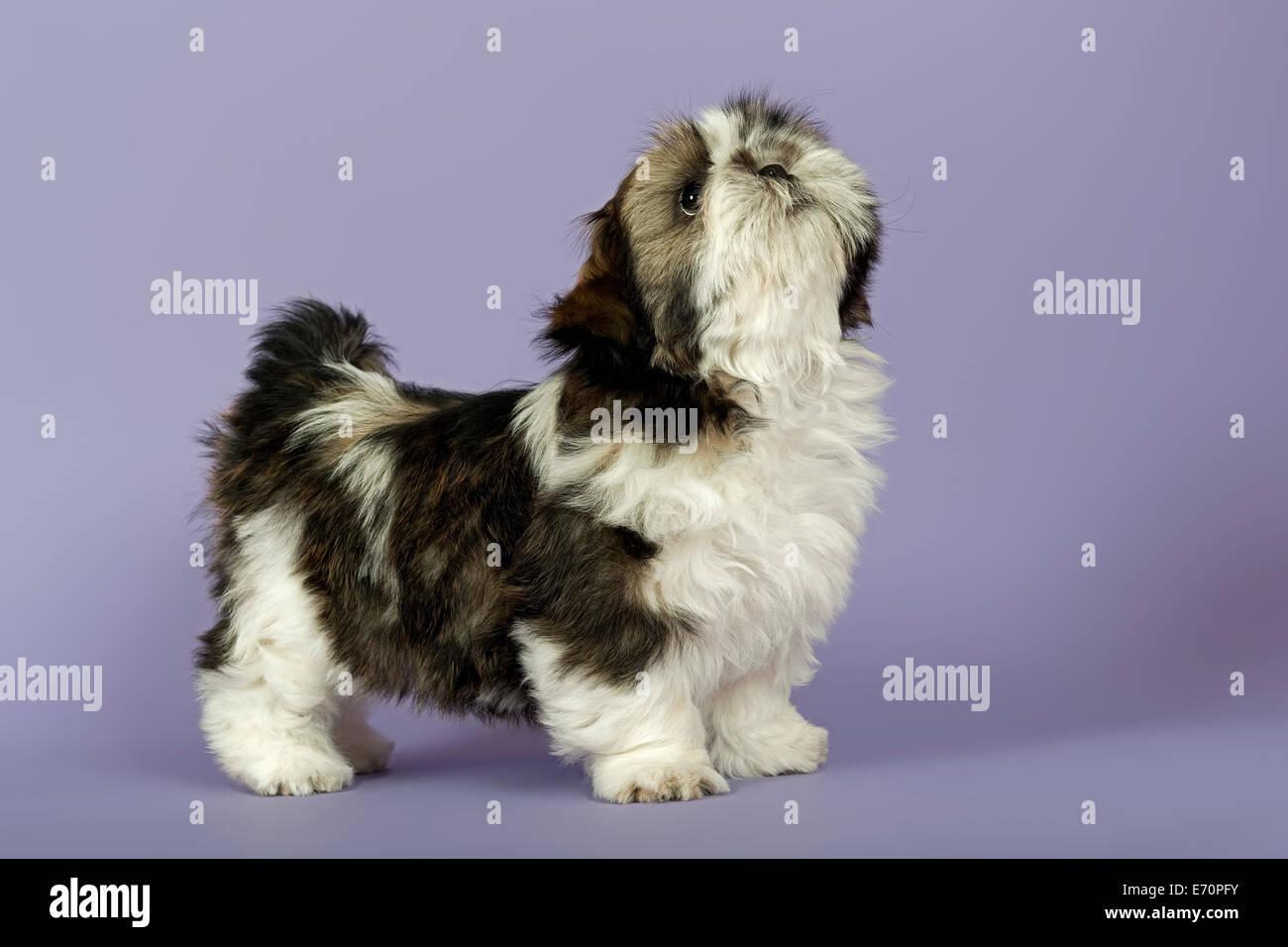 Shih Tzu Puppy 10 Weeks Gold White Stock Photo 73161759 Alamy