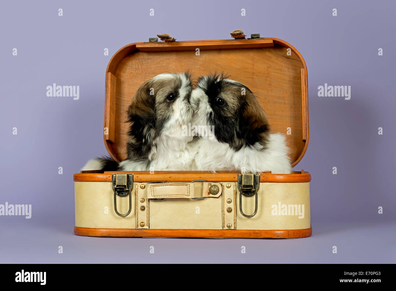 Two Shih Tzu Puppies 10 Weeks Gold White In A Suitcase Stock