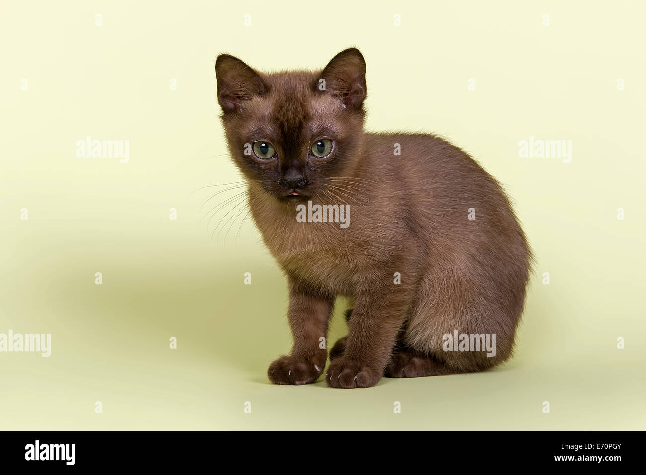 Burmese, cat breed, kitten, tomcat, 13 weeks, brown colour Stock Photo