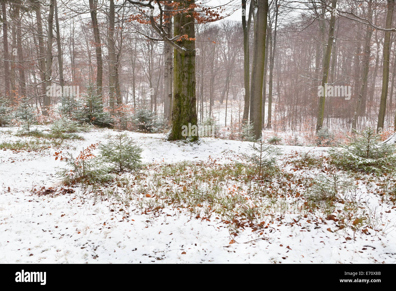 misty winter forest in Harz mountains, Germany Stock Photo