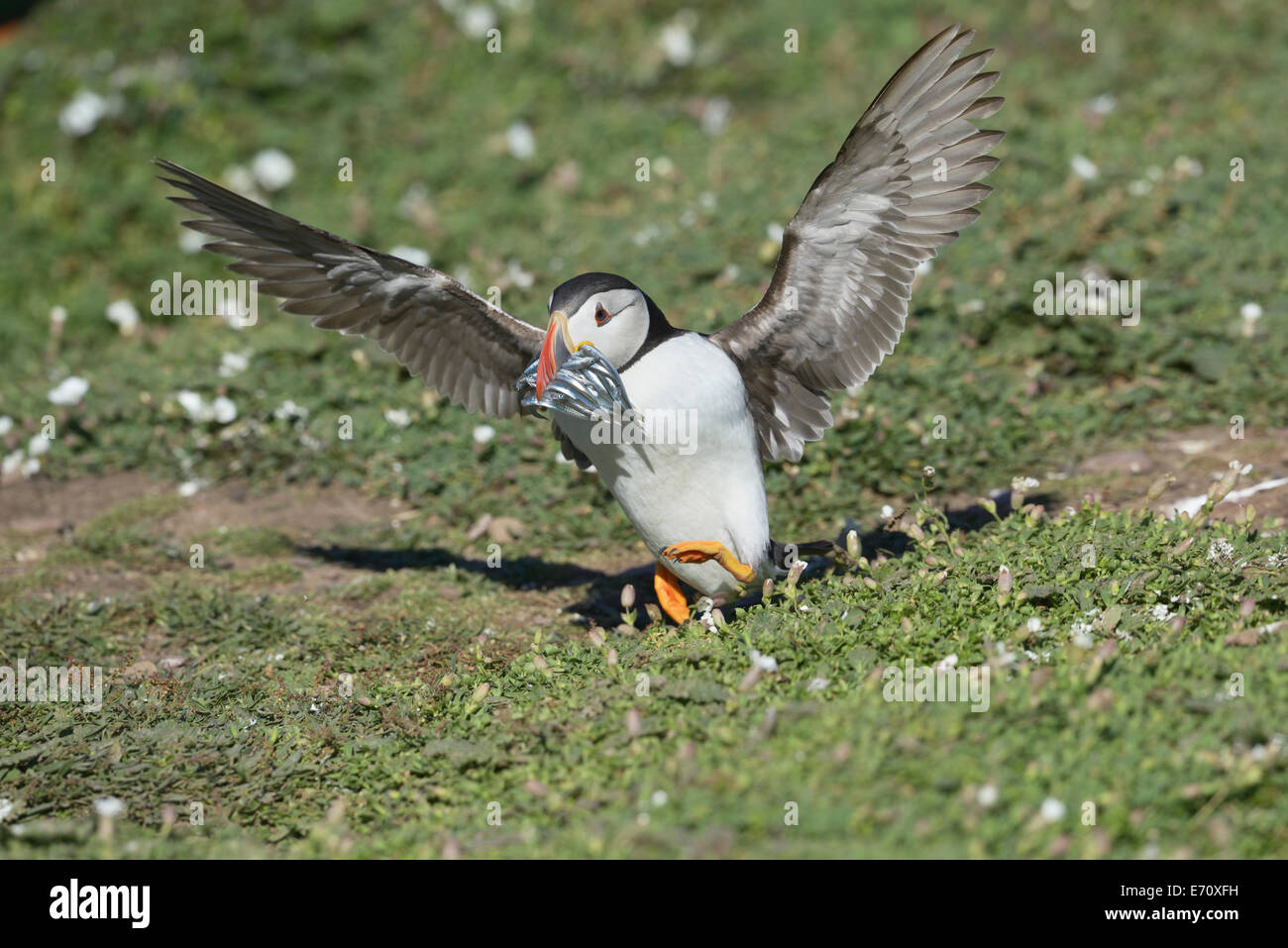 Puffin (Fratercula arctica) touching down with a beak overflowing with fish Stock Photo
