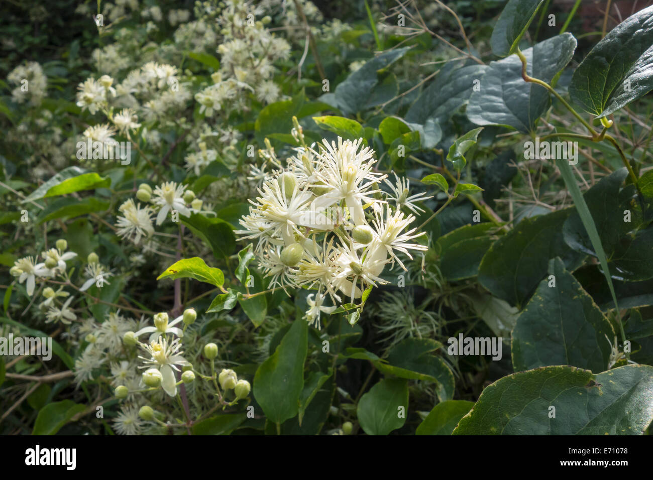 Travellers Joy wild rambling plant creamy white flower - Stock Image
