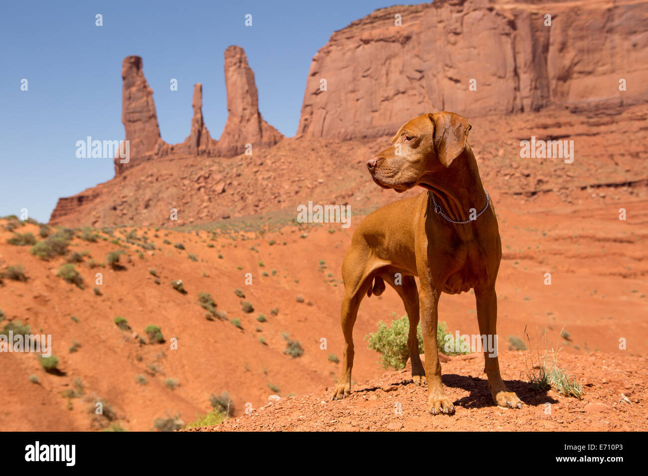 pure breed red dog in Monument Valley - Stock Image