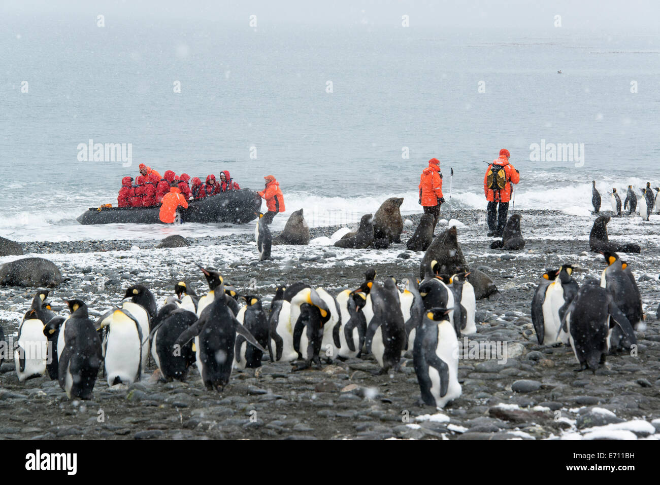 Travellers in bright orange waterproofs observing a group of king penguins and a fur seal on South Georgia Island. - Stock Image