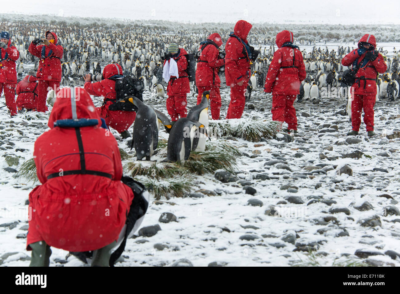 Travellers in bright orange waterproofs observing and photographing king penguins. - Stock Image