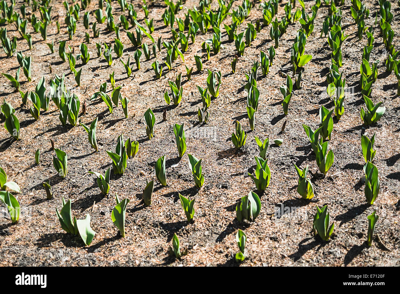 Small green plants emerging from the soil in a field. - Stock Image