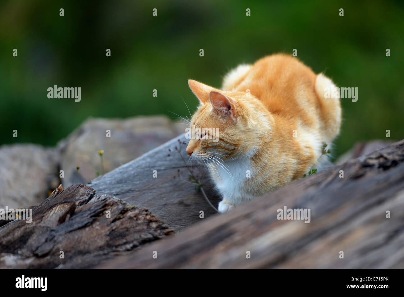 House cat, Felis silvestris catus, snoozing on logs - Stock Image