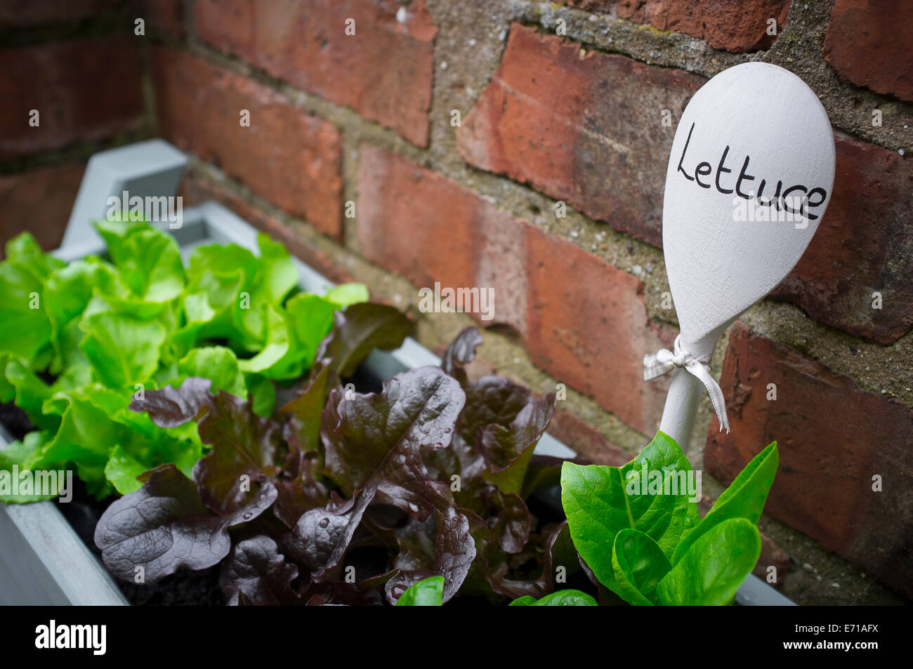 Young lettuce plants being grown in a window box. - Stock Image
