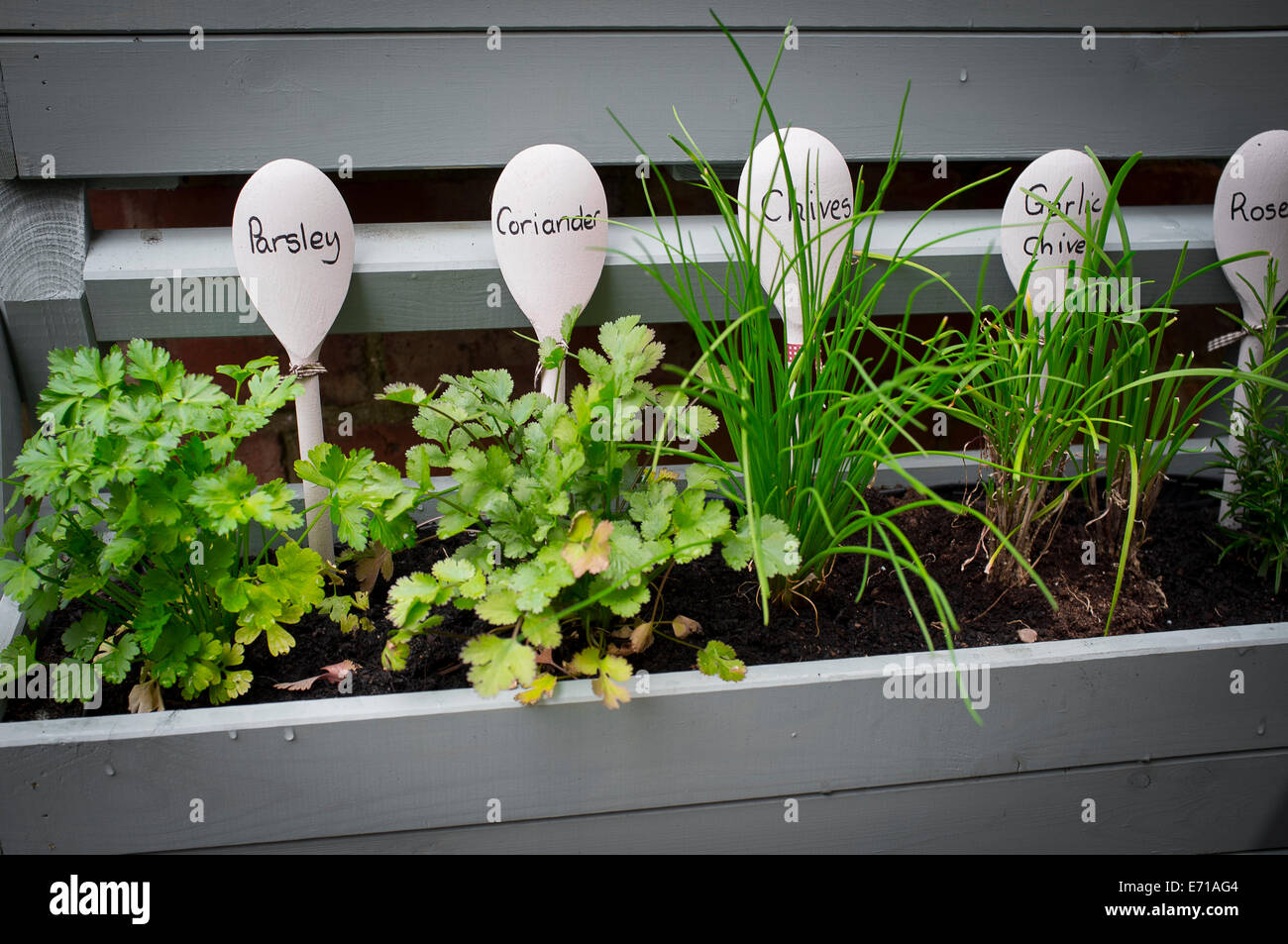 Young herb plants being grown in a window box. - Stock Image