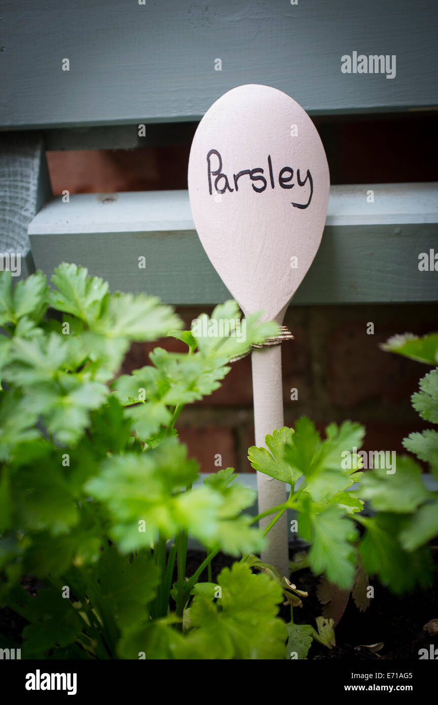 Young parsley plants being grown in a window box. - Stock Image
