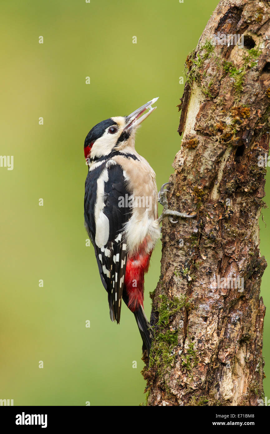 Adult male Great Spotted Woodpecker (Dendrocopos major) - UK - Stock Image