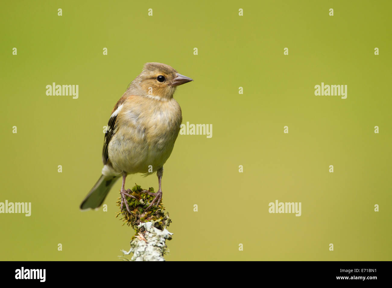 Juvenile Male Chaffinch (Fringilla coelebs) - UK - Stock Image