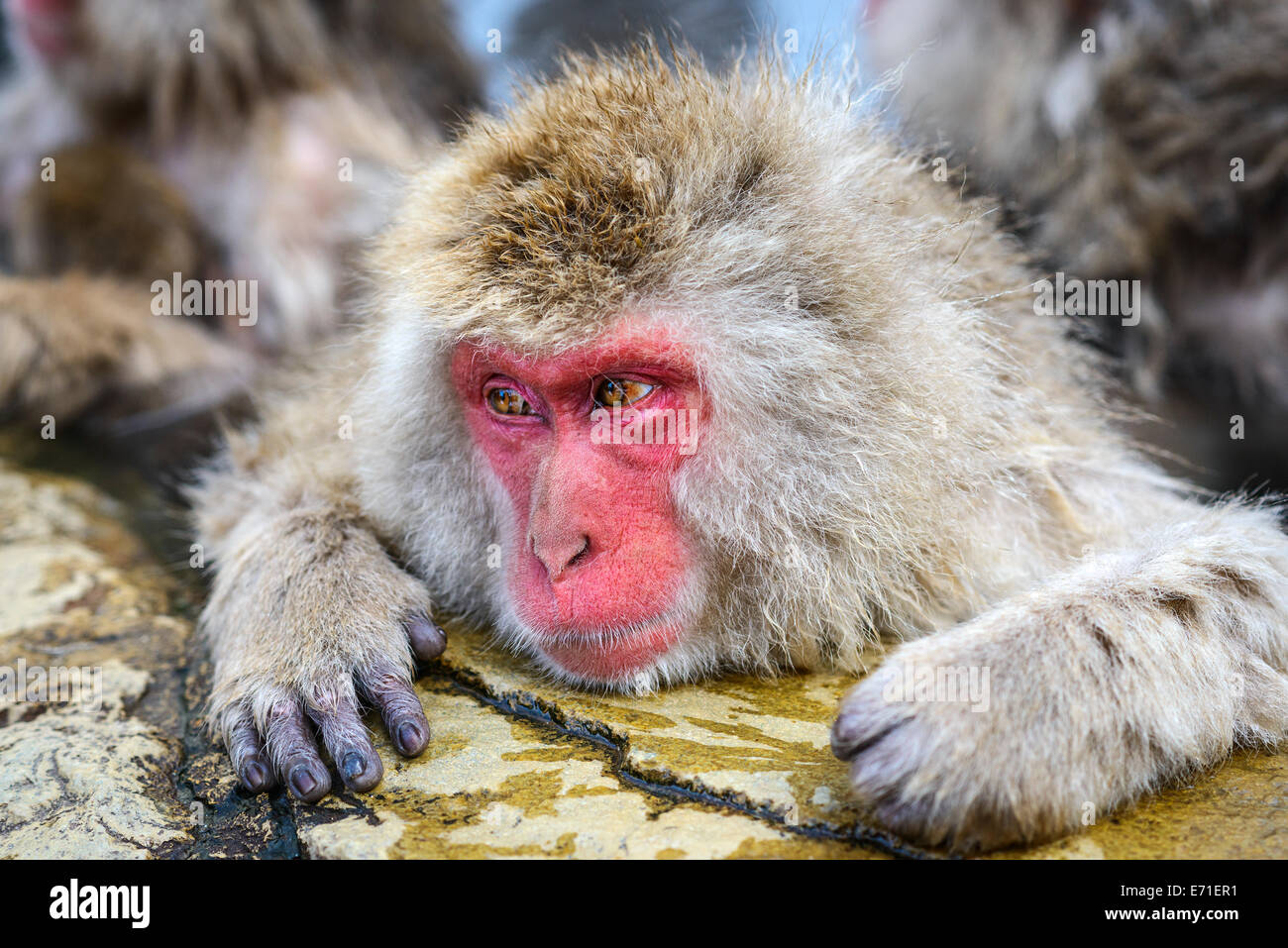 Macaque baths in hot springs in Nagano, Japan. - Stock Image