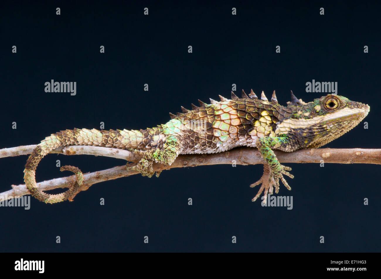 Pygmy lizard / Cophotis ceylanica, Sri Lanka - Stock Image