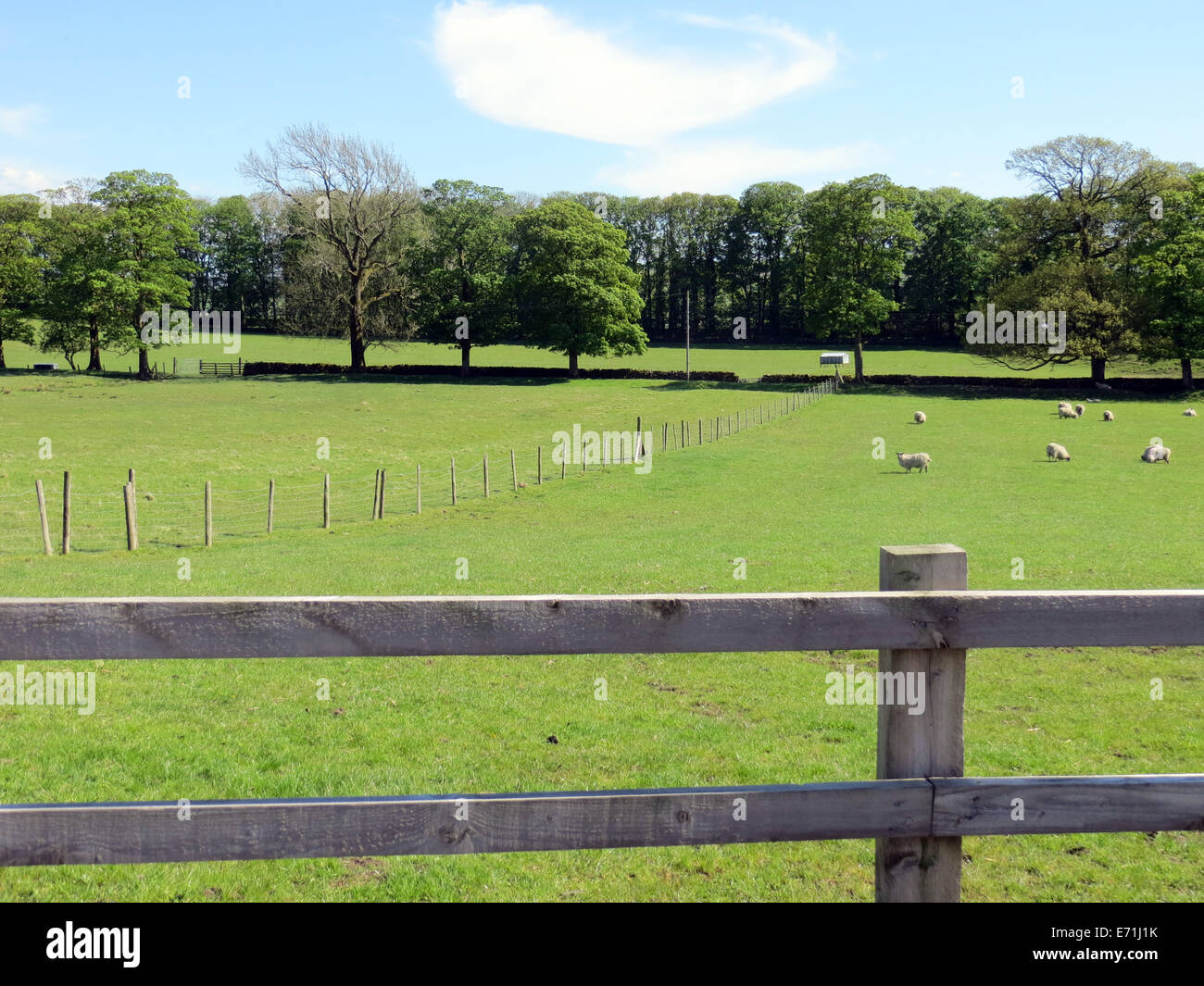 Wooden fence borders field of sheep on farmland in Yorkshire Dales - Stock Image