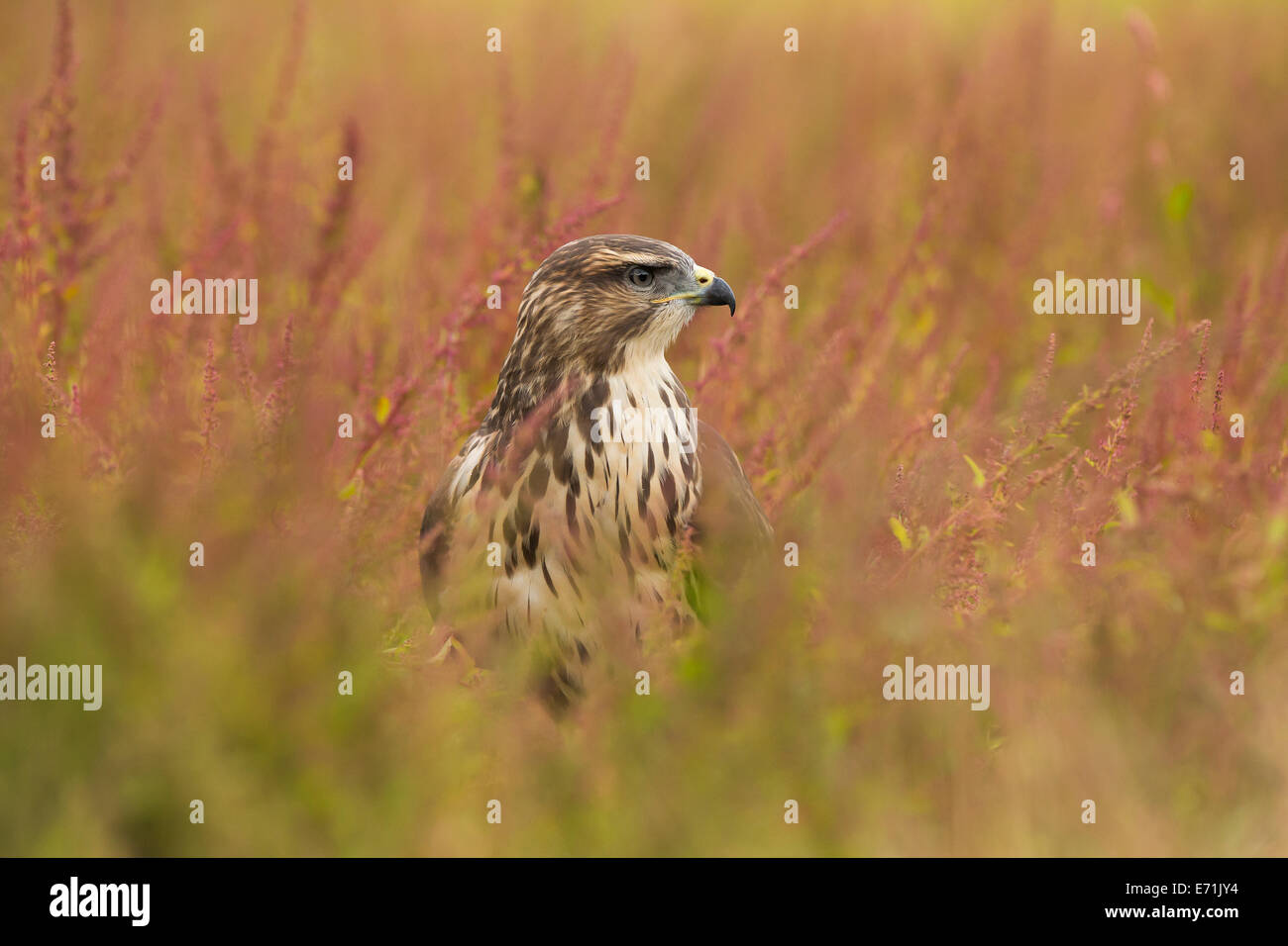 Buzzard, Buteo buteo in a field - Stock Image