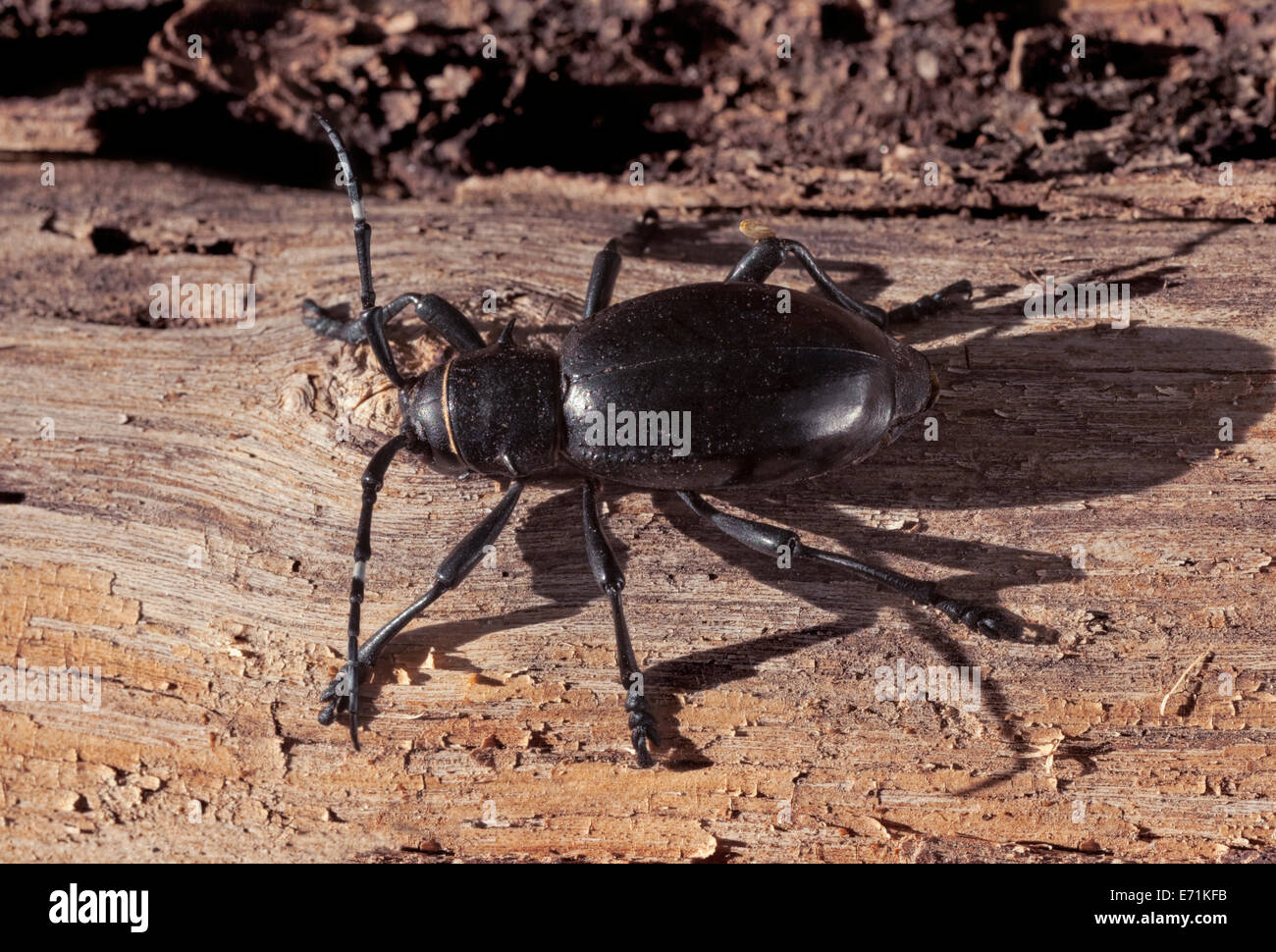Cactus Longhorn Beetle, Moneilema gigas This bee normally feeds on chollas and prickly pear cacti, and even saguaro. - Stock Image