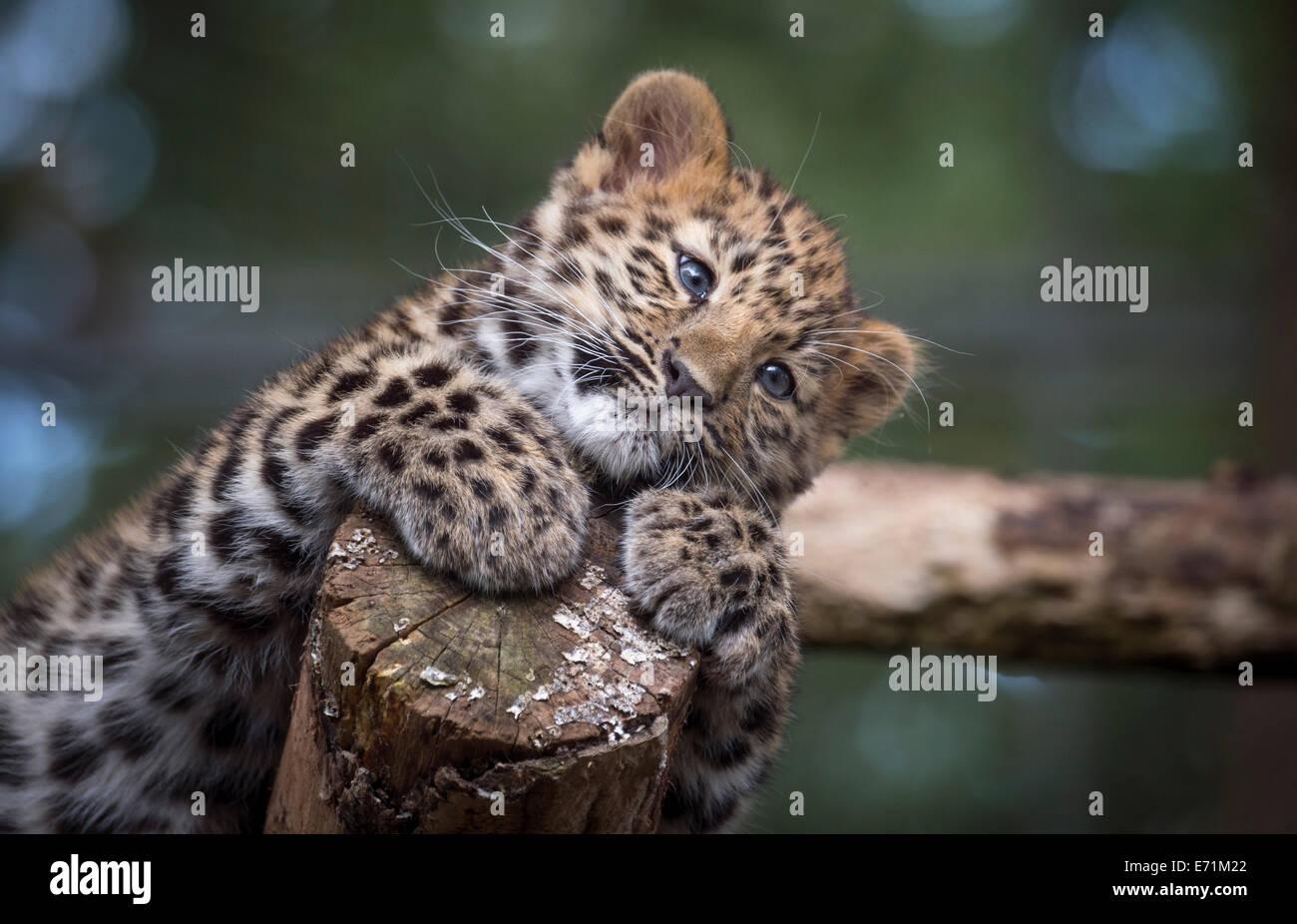 Female Amur leopard cub looking cute - Stock Image