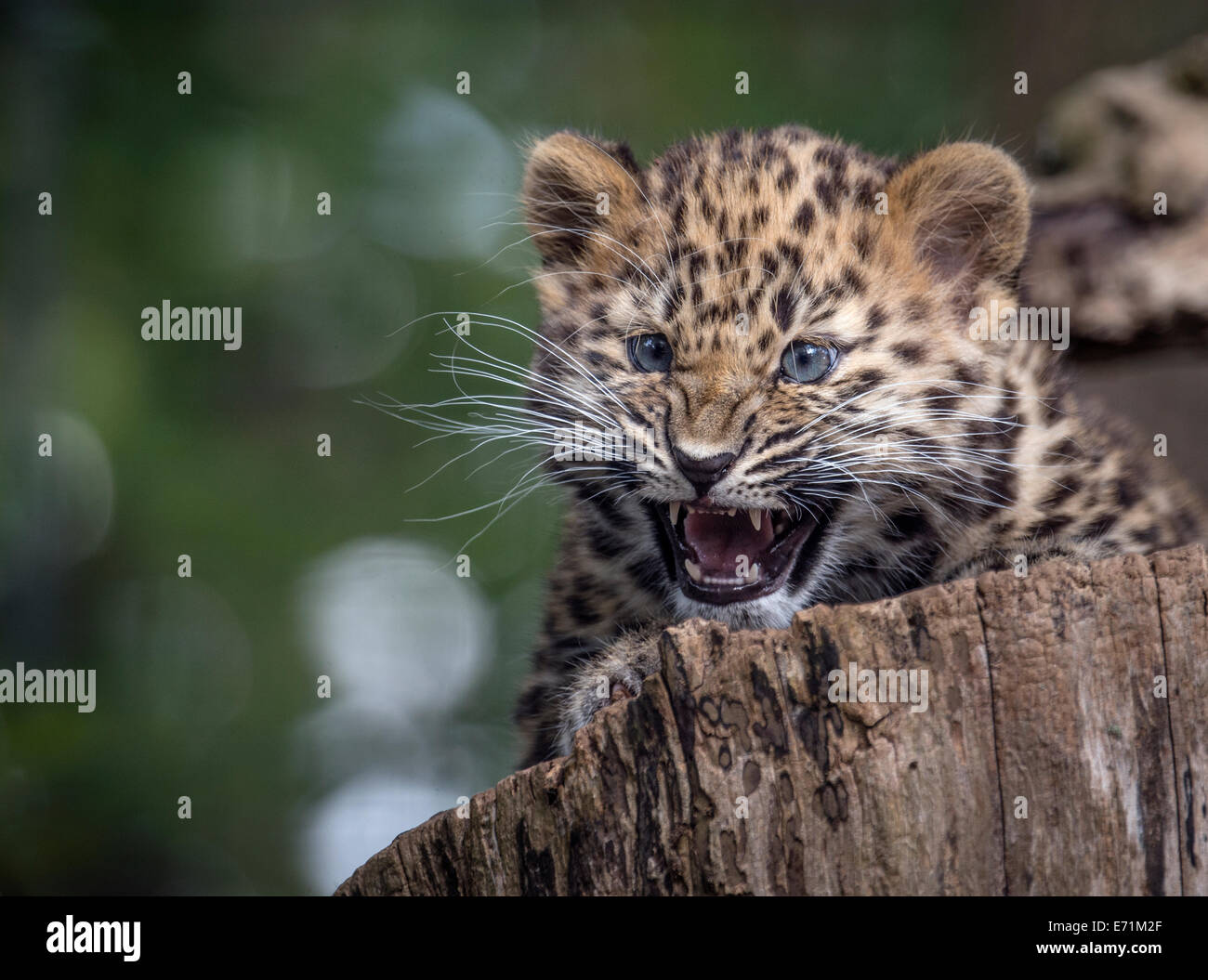 Female Amur leopard cub snarling - Stock Image