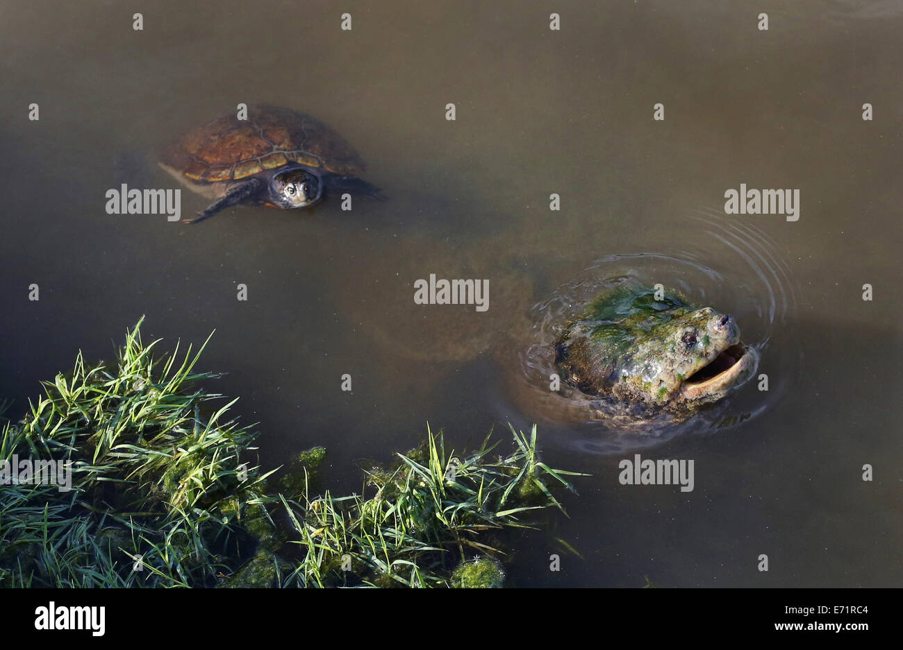 A large snapping turtle next to a smaller turtle in a pond. Stock Photo