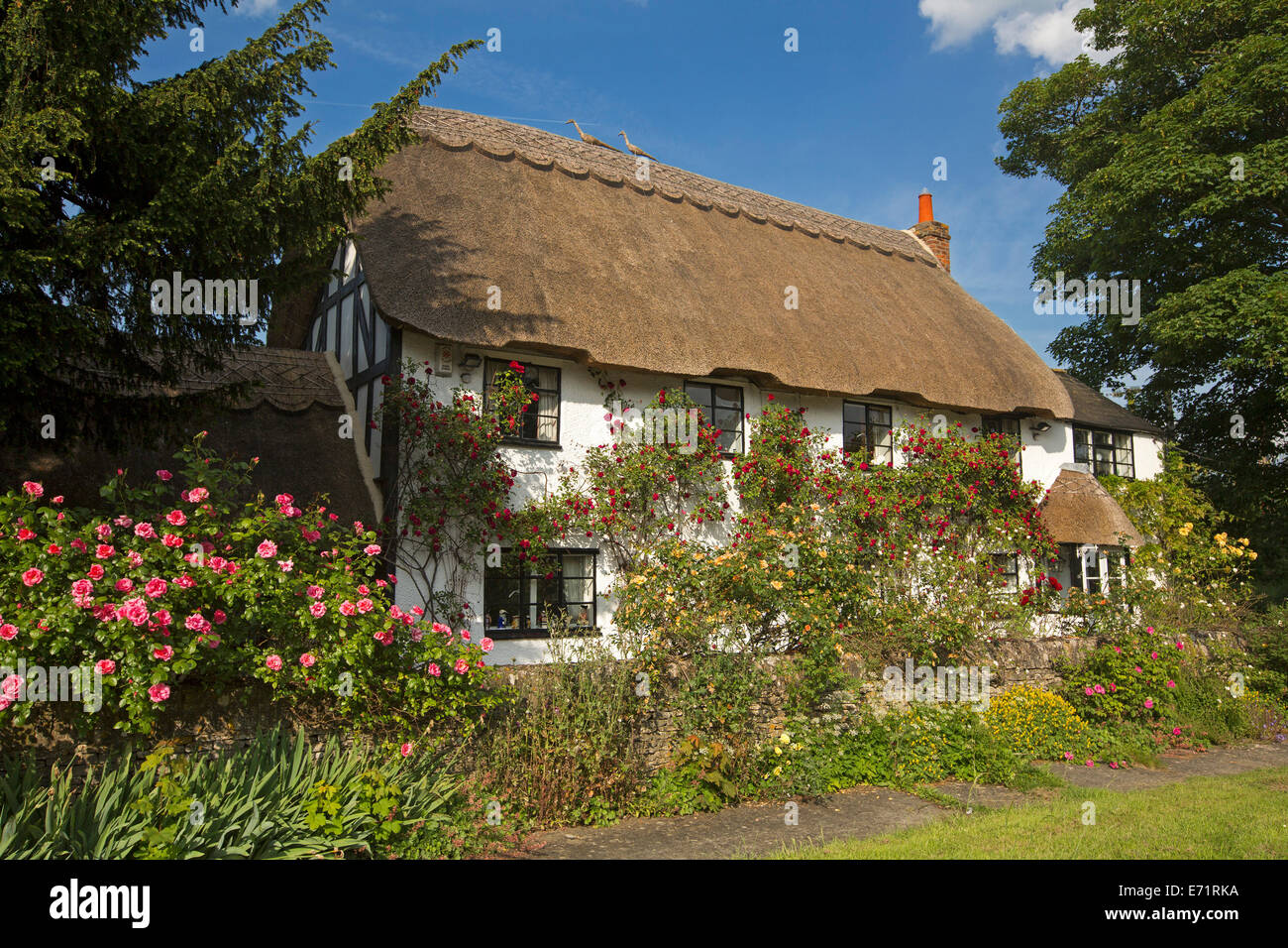 Picturesque English cottage with thatched roof, white walls covered with red and yellow climbing roses, blue sky, - Stock Image
