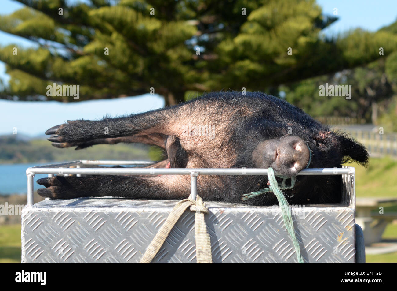 TAIPA, NZL - SEP 03 2014:Hunted Wild Pig.Wild pig hunting in New Zealand is a significant sport with over 20,000 - Stock Image
