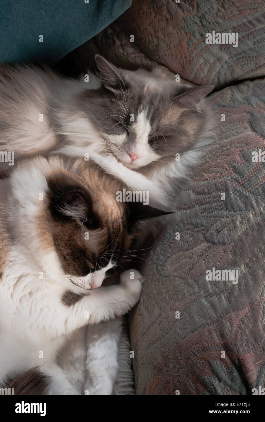 Two young Ragdoll siblings cuddled up in an armchairķ - Stock Image