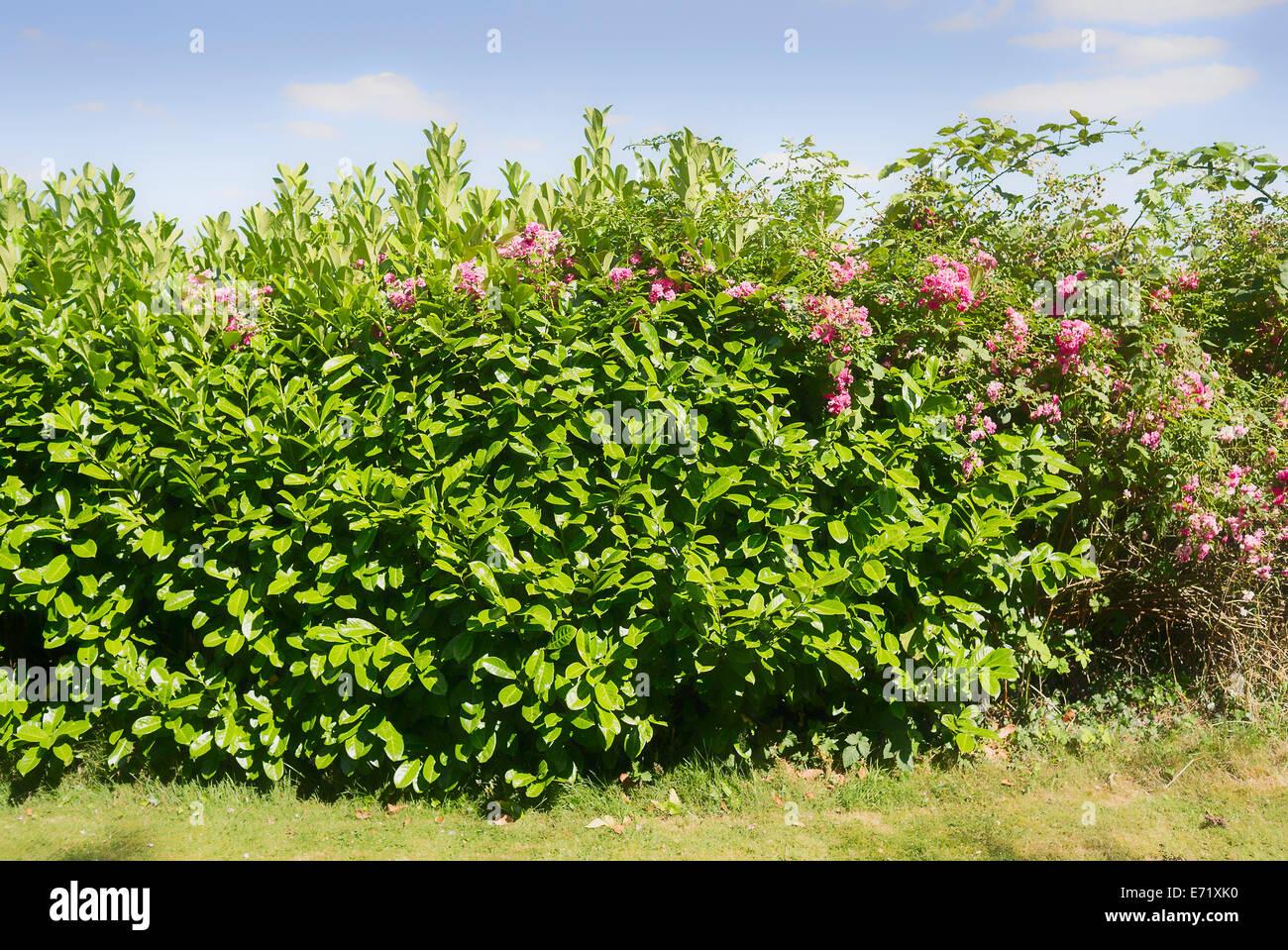 Pink rose rambling through a laurel hedge delaying hedge trimming - Stock Image