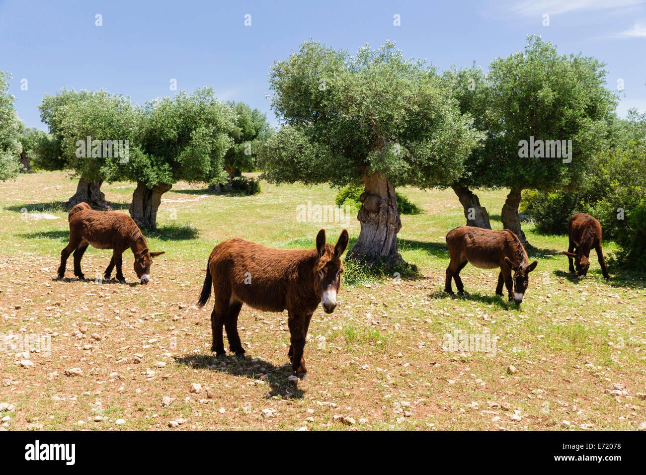 Donkeys of the Martina Franca breed, Martina Franca, Valle d'Itria, Apulia, Italy - Stock Image