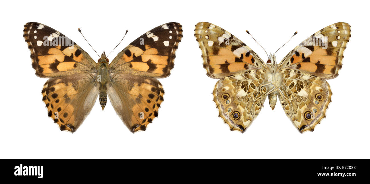 Painted Lady Vanessa cardui - Stock Image