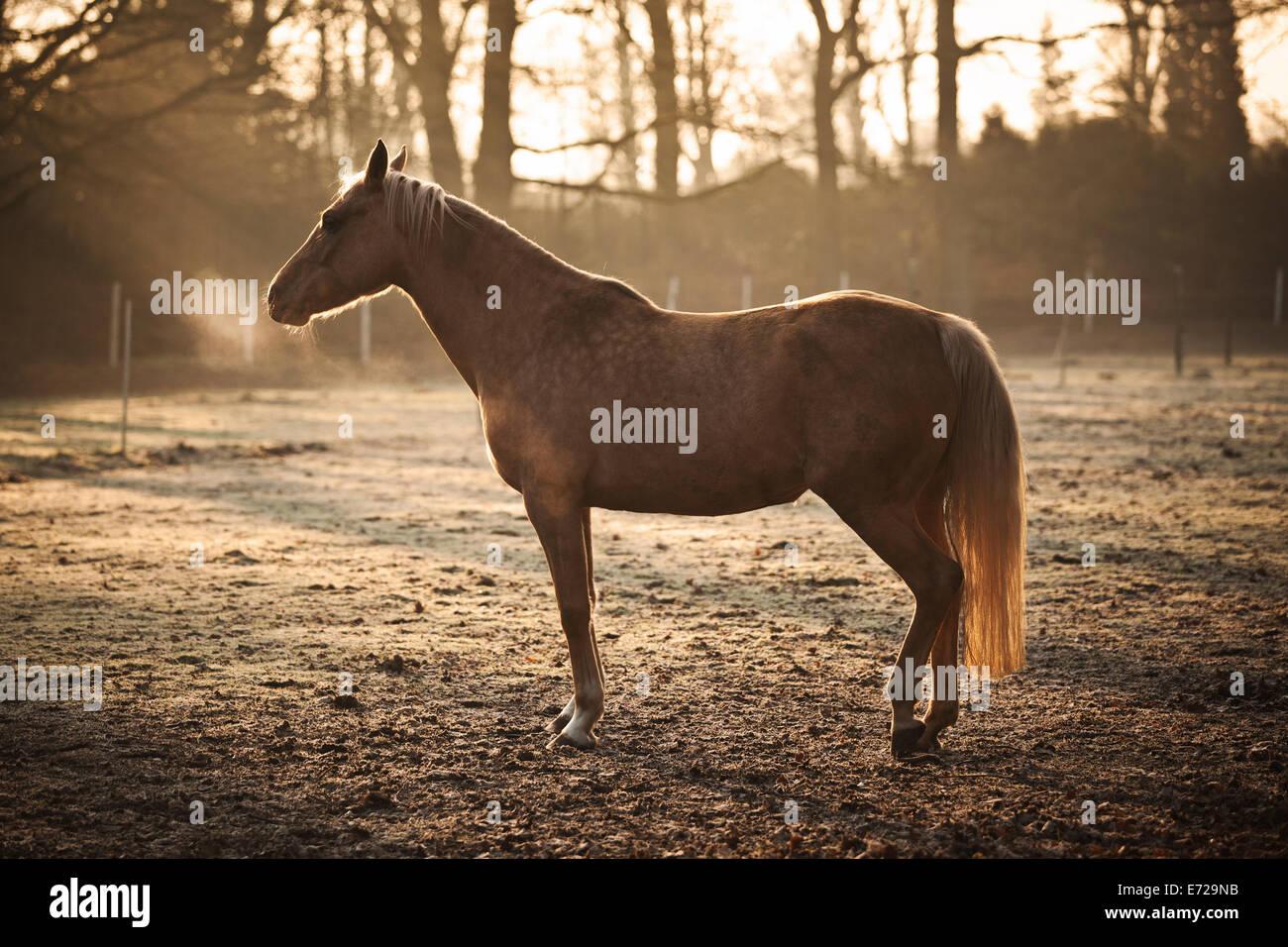 Small horse, mare, Palomino, dozing on a winter morning, North Rhine-Westphalia, Germany - Stock Image