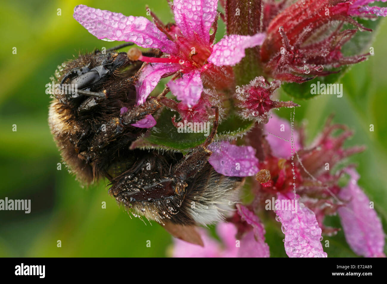 Buff-tailed Bumblebee or Large Earth Bumblebee (Bombus terrestris), Hesse, Germany Stock Photo