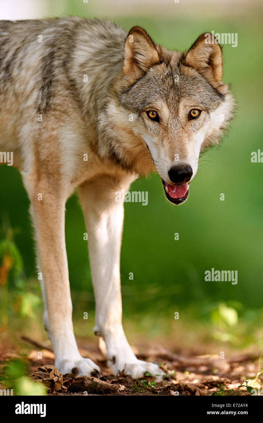 The Gray or Grey Wolf (Canis lupus) - Stock Image